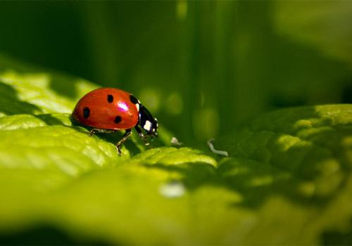 Canon T2i Ladybug Macro