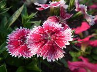 Fuji HS10 Pink Flower (macro)