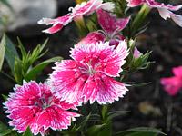 Nikon P100 Pink Flower (macro)